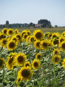 Zelo Sunflowers