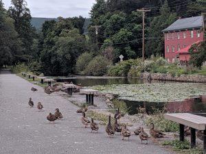 Ducks in Weissport