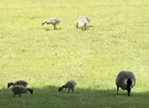 Gaggle Cropped